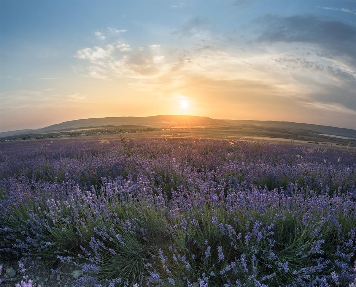 Photo tours of the Crimea on the flowering lavender