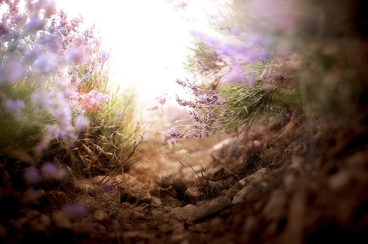 Photo tours of the Crimea on the flowering lavender (3)