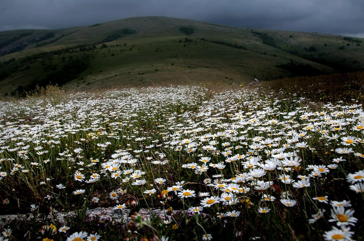Spring landscape - daisies on the slopes of the mountain Chatyr Dag in Crimea